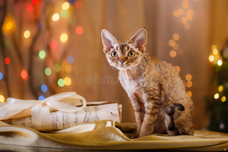 Devon Rex cat, Christmas and New Year royalty free stock photo