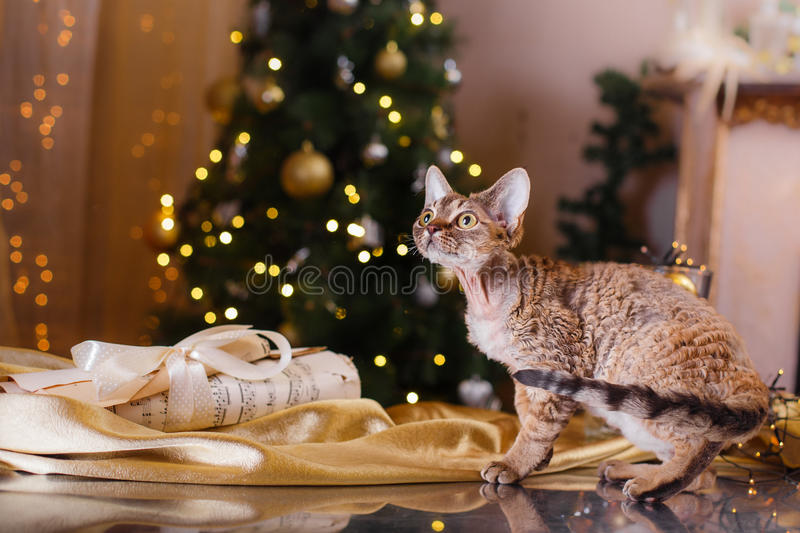 Devon Rex cat, Christmas and New Year royalty free stock image