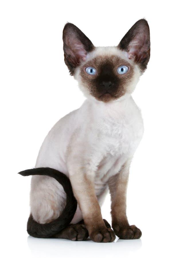 Devon rex cat close-up portrait royalty free stock photo