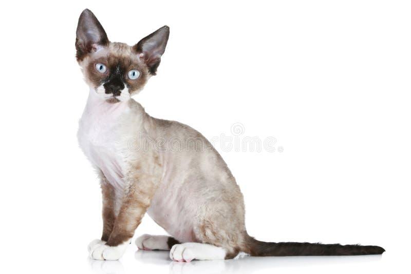 Devon rex cat close-up portrait royalty free stock photography