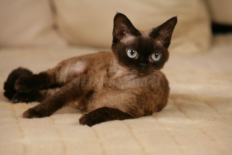 Devon Rex-kat die op een bank liggen stock fotografie