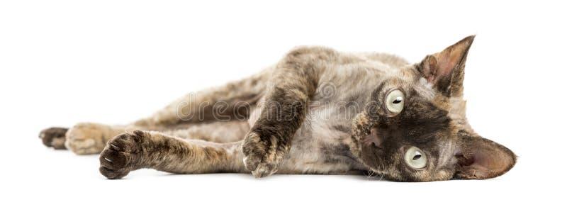Devon-rex Katze, die sich hinlegt lizenzfreie stockfotos