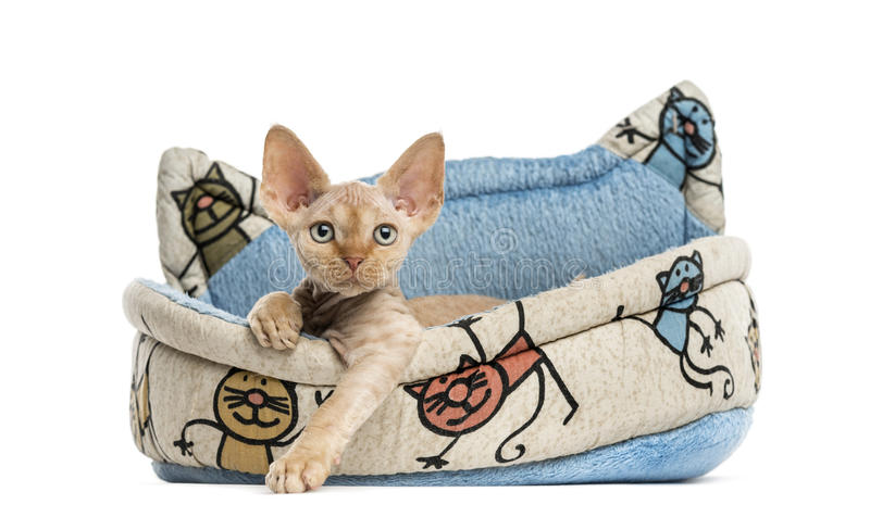 Devon rex in a pet basket isolated on white. Devon rex relaxing in a pet basket isolated on white royalty free stock images