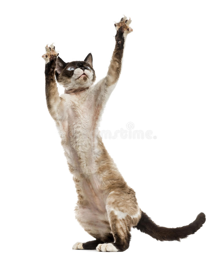 Free Devon Rex Playing On Hind Legs Royalty Free Stock Photography - 77490767