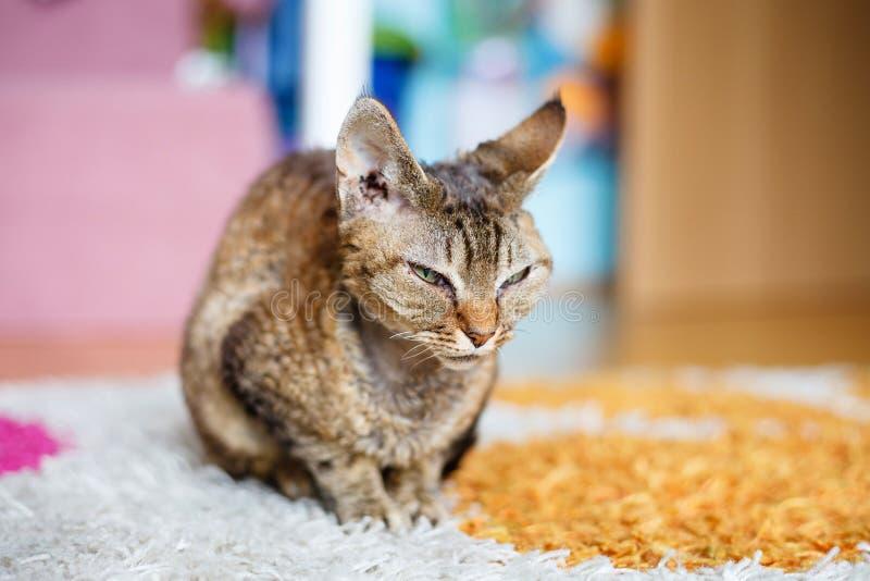 Devon Rex purebred domestic cat. Sitting on carpet stock photography