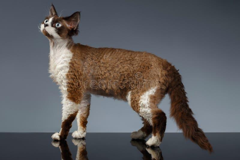 Devon Rex stojaki w Profilowym widoku na szarość obraz stock