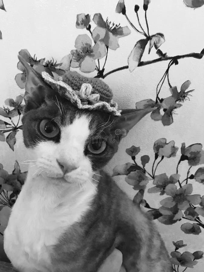 Devon rexkatt i rolig hatt Stående av en rolig devonrex, blom- bakgrund för closeup Kattungesakura blommor arkivfoto