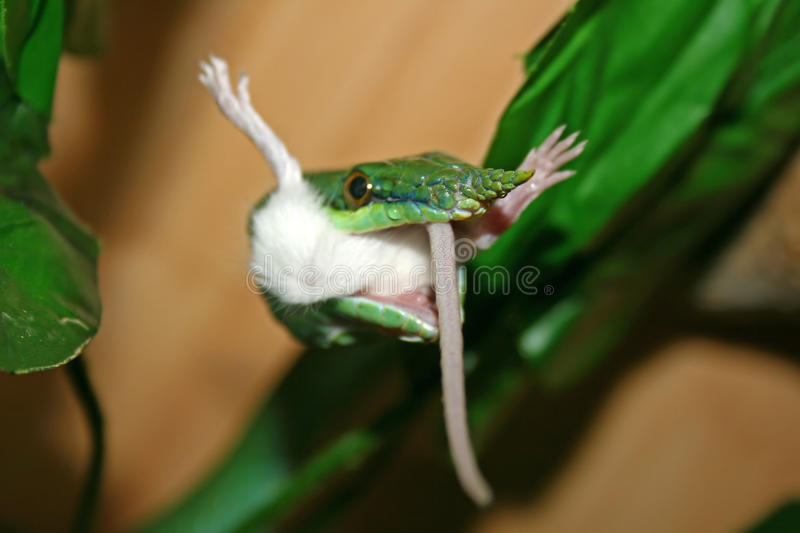 Devouring. Rhynchophis boulengeri devouring a mouse royalty free stock image