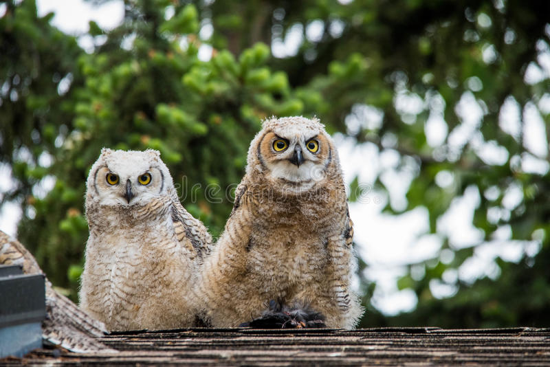 Baby owlets owls devouring dinner. Beautiful great horned owlets devour their dinner royalty free stock image