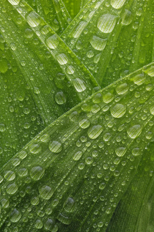 Download Dew stock photo. Image of frondage, drop, water, grower - 26943894