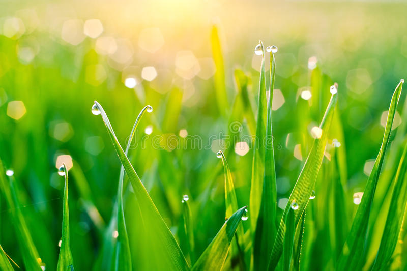 Dew on blades of grass. Morning dew on blades of grass during sunrise stock photos