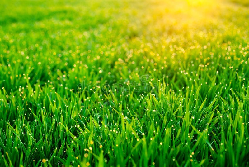 Dew on blades of grass. Morning dew on blades of grass during sunrise royalty free stock photography