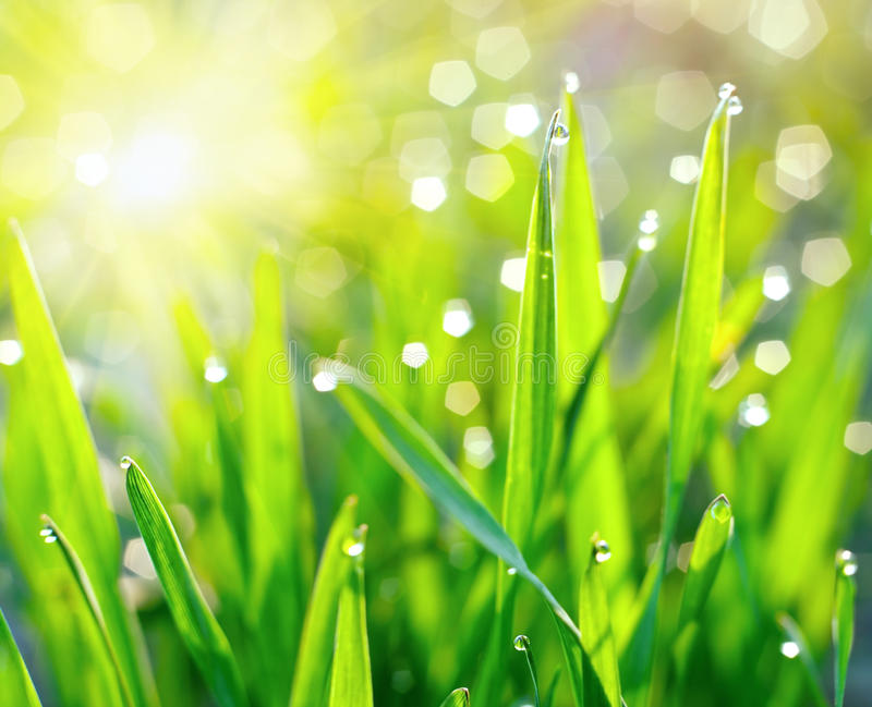 Dew on blades of grass. Morning dew on blades of grass during sunrise stock images