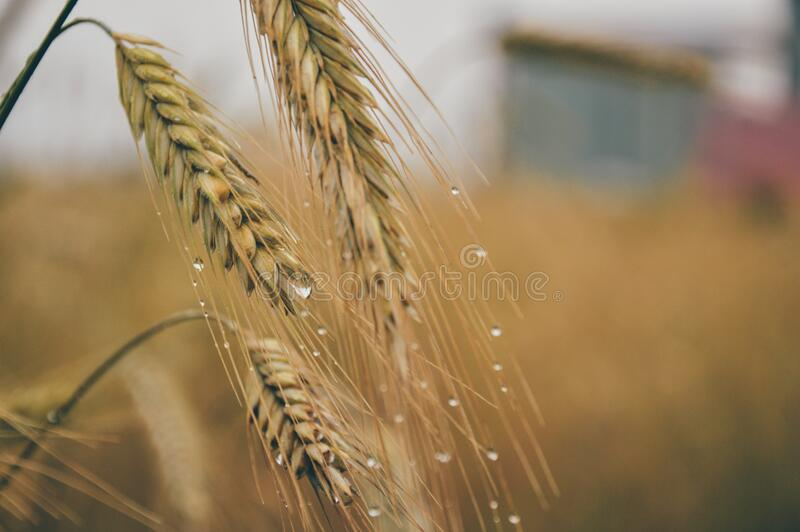 Dew on cereal grain royalty free stock photography