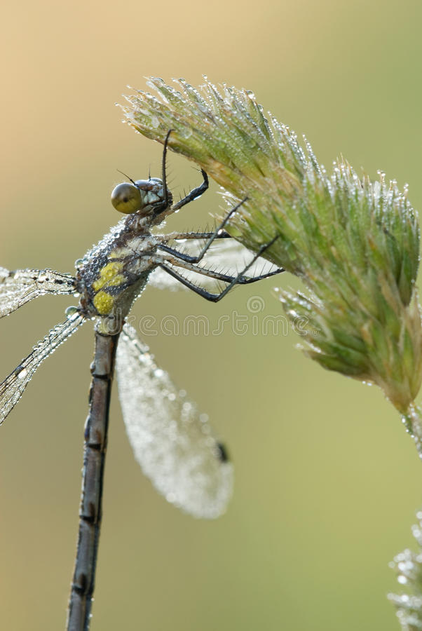 Dew covered damselfly hangs from a grass seedhead. stock image