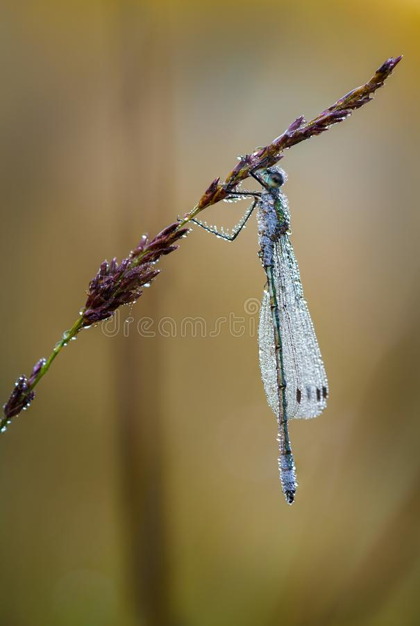 Dew-covered emerald damselfly on its morning twig royalty free stock images