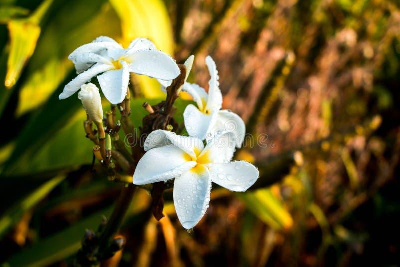 Dew Covered Plumeria Flowers stock photo