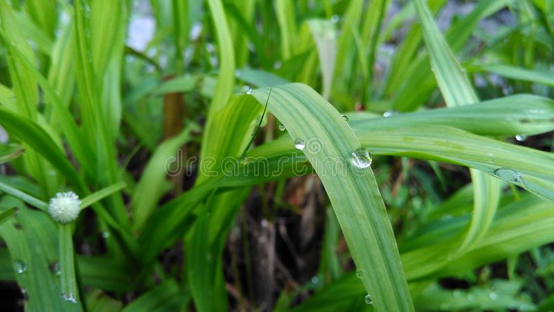 Dew drop on the green grass. Morning dew on the green grass background stock photography