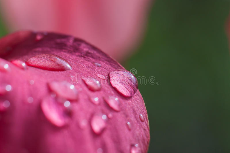 Dew drop on pink flower stock photography