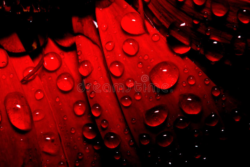Dew drop on red gerbera royalty free stock images