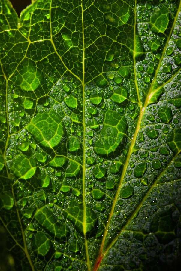 Download Dew Droplets Of Water On Foliage. Stock Photo - Image: 24646762
