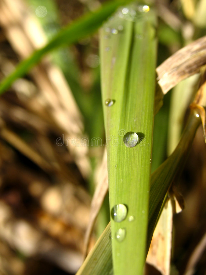 Dew Dropped Blade Of Grass Stock Photos