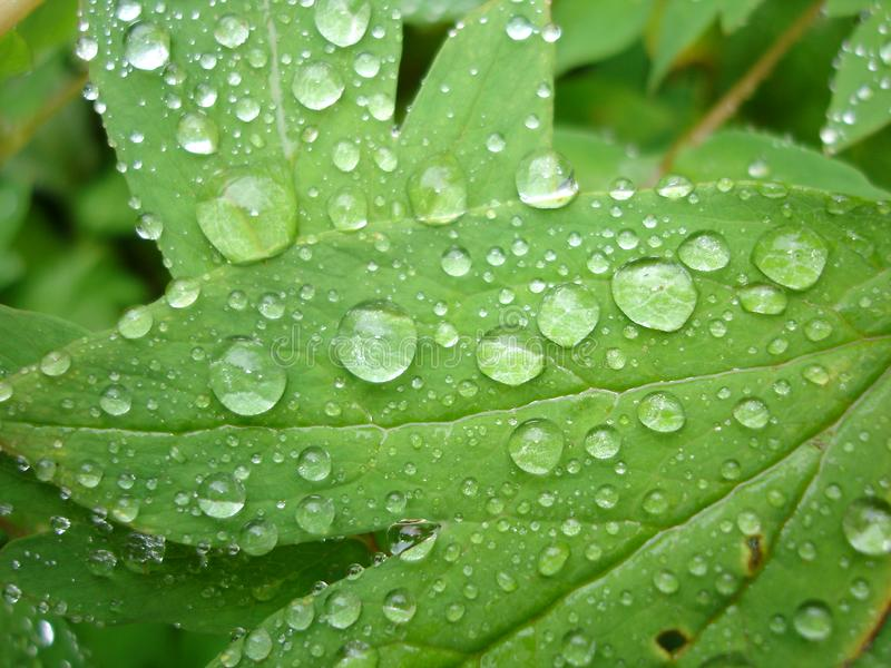 Dew drops royalty free stock photography