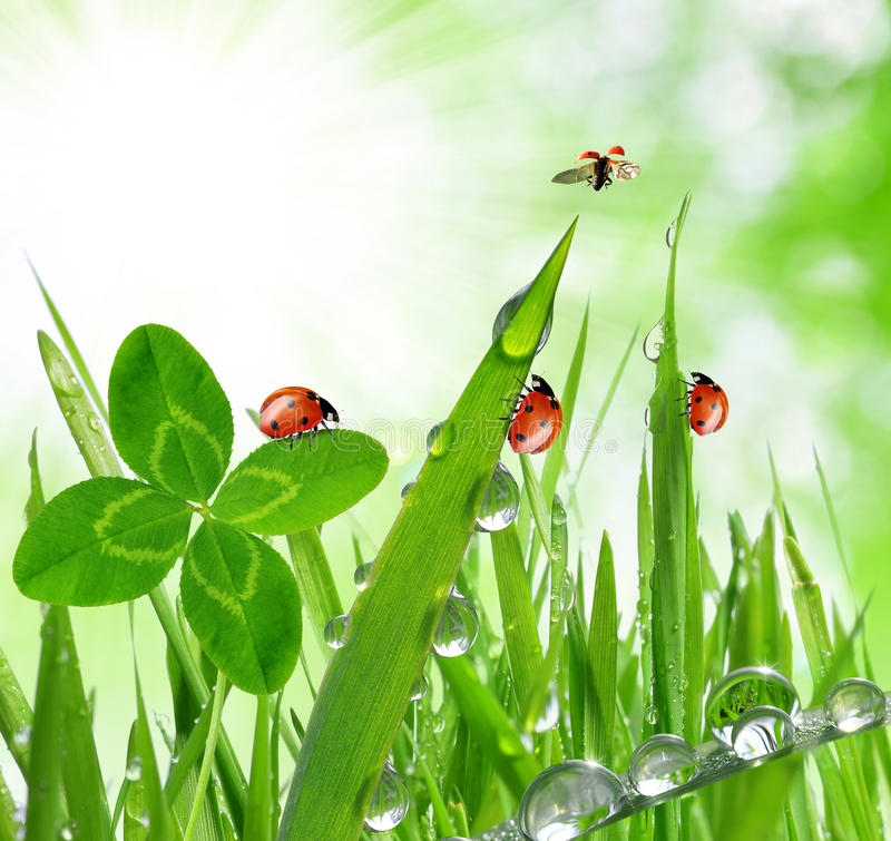 Free Dew Drops And Ladybugs Stock Photos - 39004913