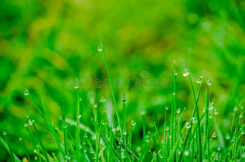 Dew drops on blades of grass royalty free stock images
