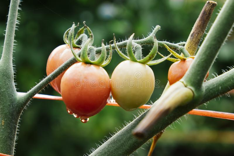 Dew drops on a bunch of tomatoes green stock photo