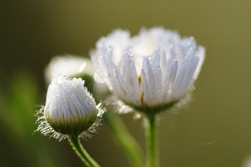 Dew drops on the chamomile royalty free stock photo