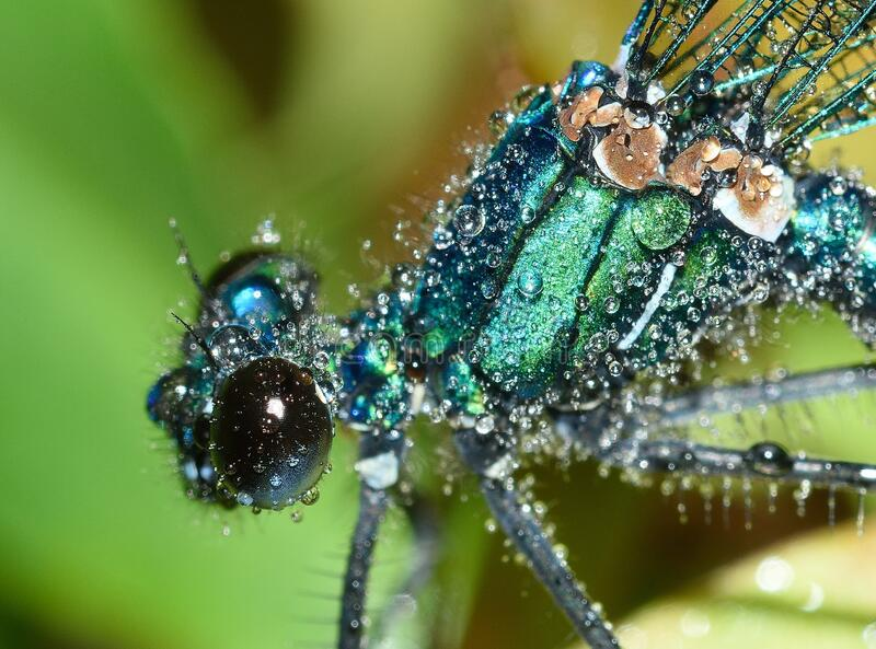 Dew drops on dragonfly royalty free stock photos