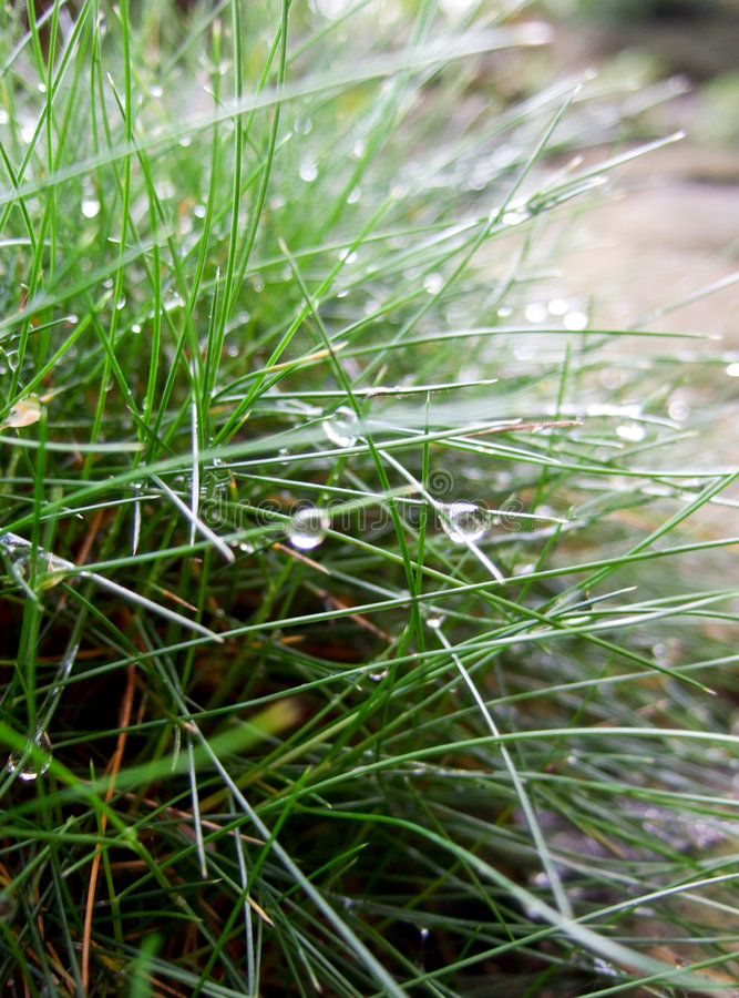 Dew drops on fescue grass. Fescue grass (festuca gautieri) covered with dew drops royalty free stock photo
