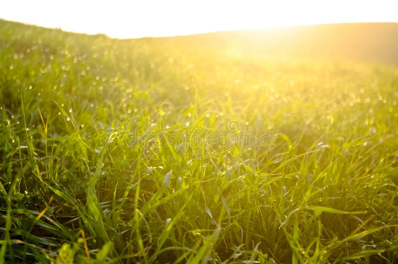 Dew drops on the grass at dawn. Fresh dew drops on the green grass at yellow dawn stock photography