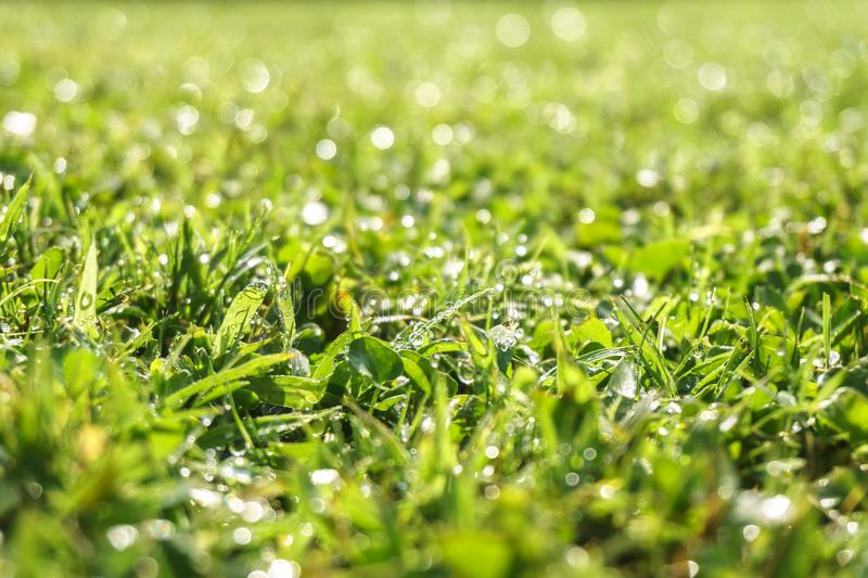 Dew drops on grass. Dew drops on the grass in the morning close - up, illuminated by the sun stock images