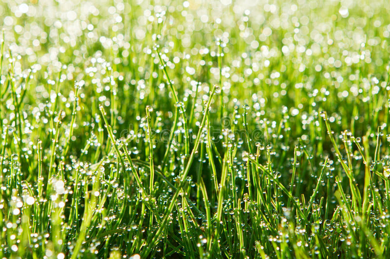 Download Dew Drops On Green Grass Royalty Free Stock Photography - Image: 21420577