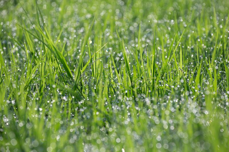 Dew drops on the green grass. Dew drops on the green grass in the atmosphere of natural beauty stock photo