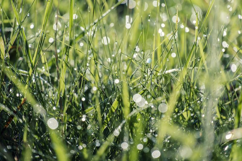 Dew drops on green grass defocused in the morning sun. Dew drops on the green grass are defocused in the morning sun royalty free stock photos