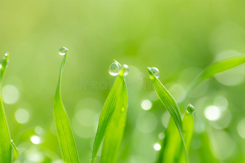 Dew drops on the green grass. macro royalty free stock photography