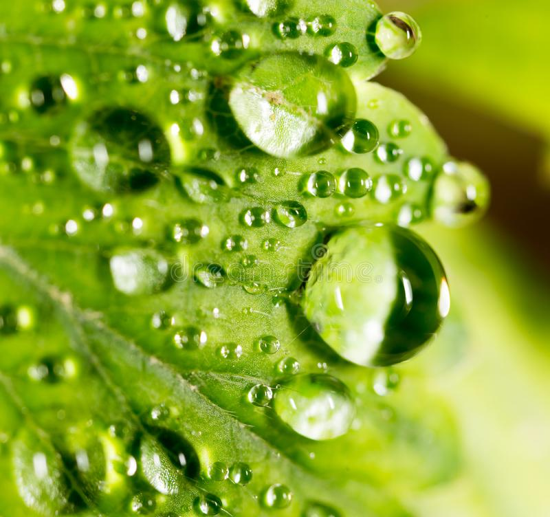 Dew drops on a green leaf stock photo
