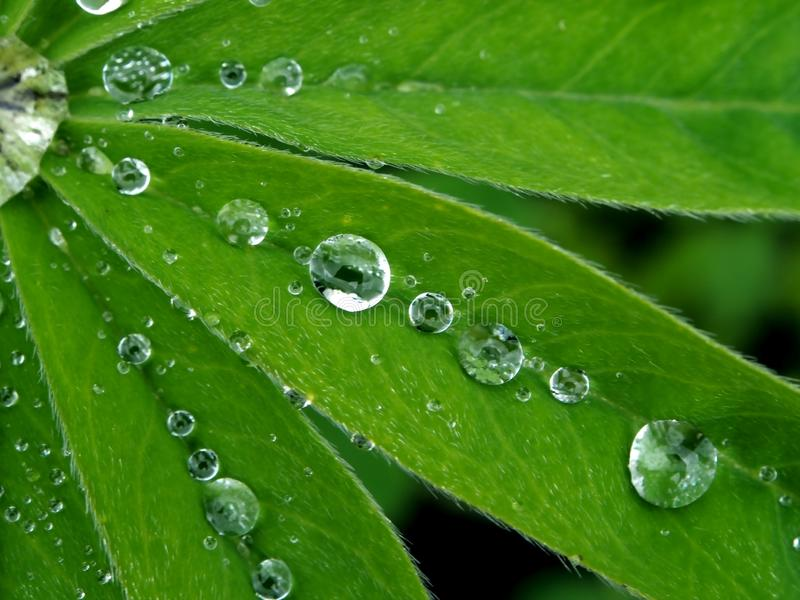Dew drops on green leaves in the early morning. Dew drops on green leaves are arranged in a geometric pattern stock photos