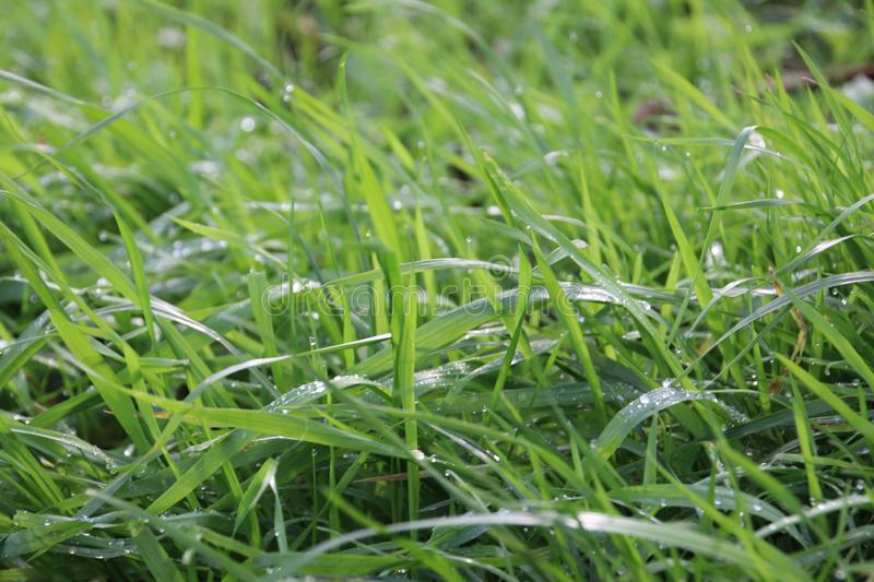 Dew drops on the green leaves of grass in the morning in park Hitland in the early morning. royalty free stock photos