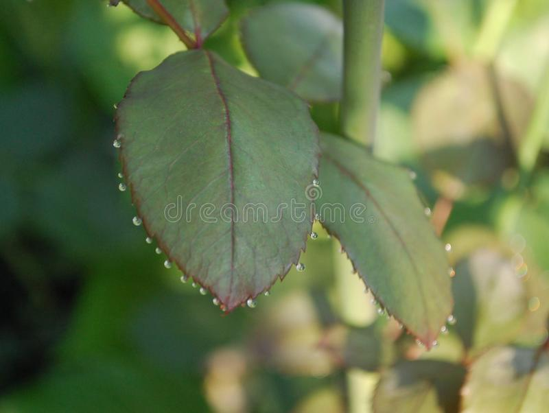 Dew drops hanging from rose leaf royalty free stock image