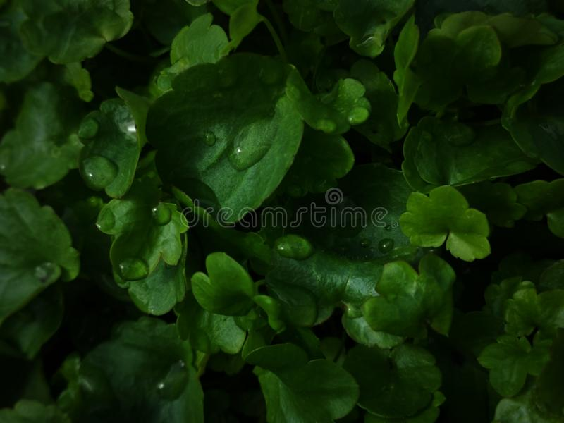 Dew drops on an leaf. Dew drops on an green leaf royalty free stock images