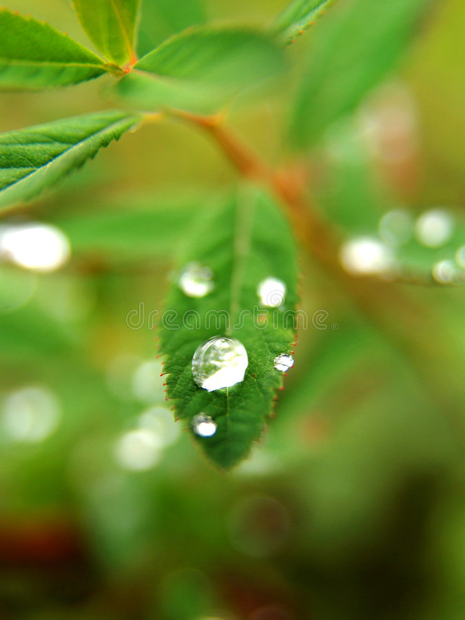 Dew drops on leaves. Sparkling morning dew drops on leaves stock photography