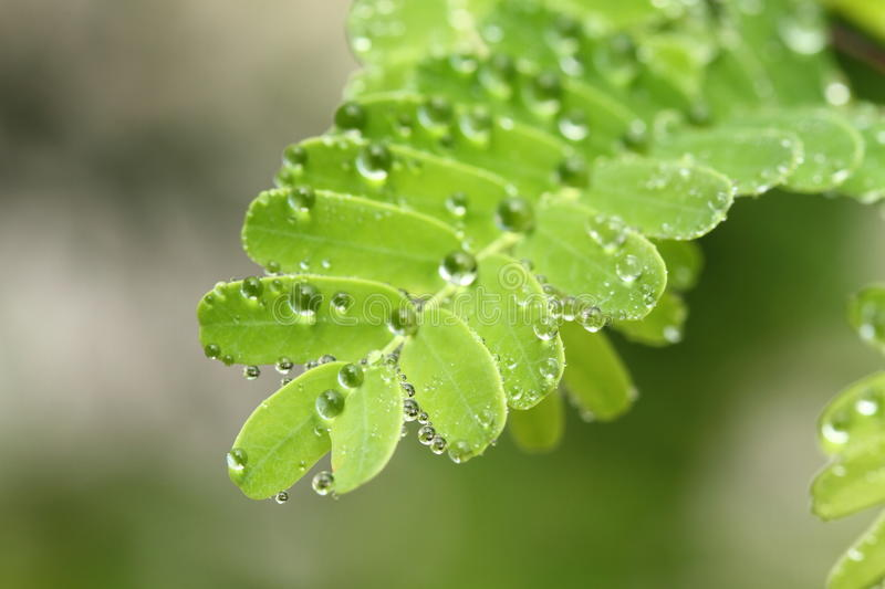 Download Dew drops on the leaves stock photo. Image of dewdrop - 33516690