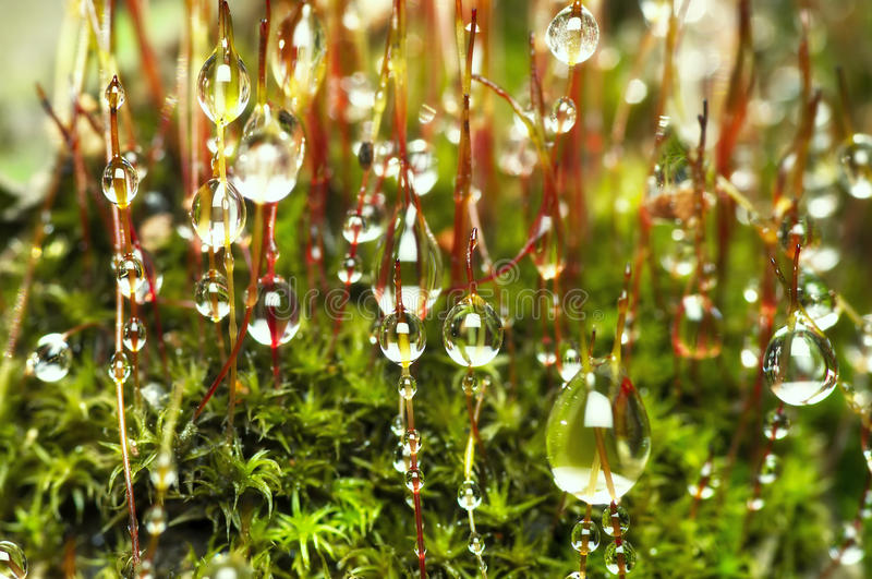 Dew drops on moss stock images