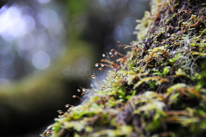 Dew drops on moss royalty free stock images