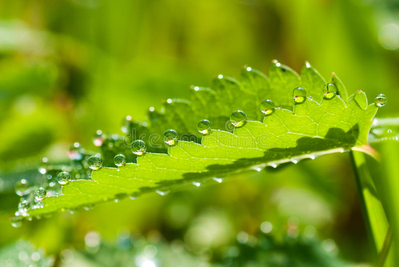 Download Dew drops stock photo. Image of guttation, detail, burnet - 33359946