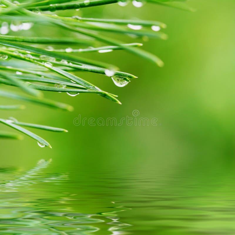 Dew Drops On Pine Needles Stock Photo